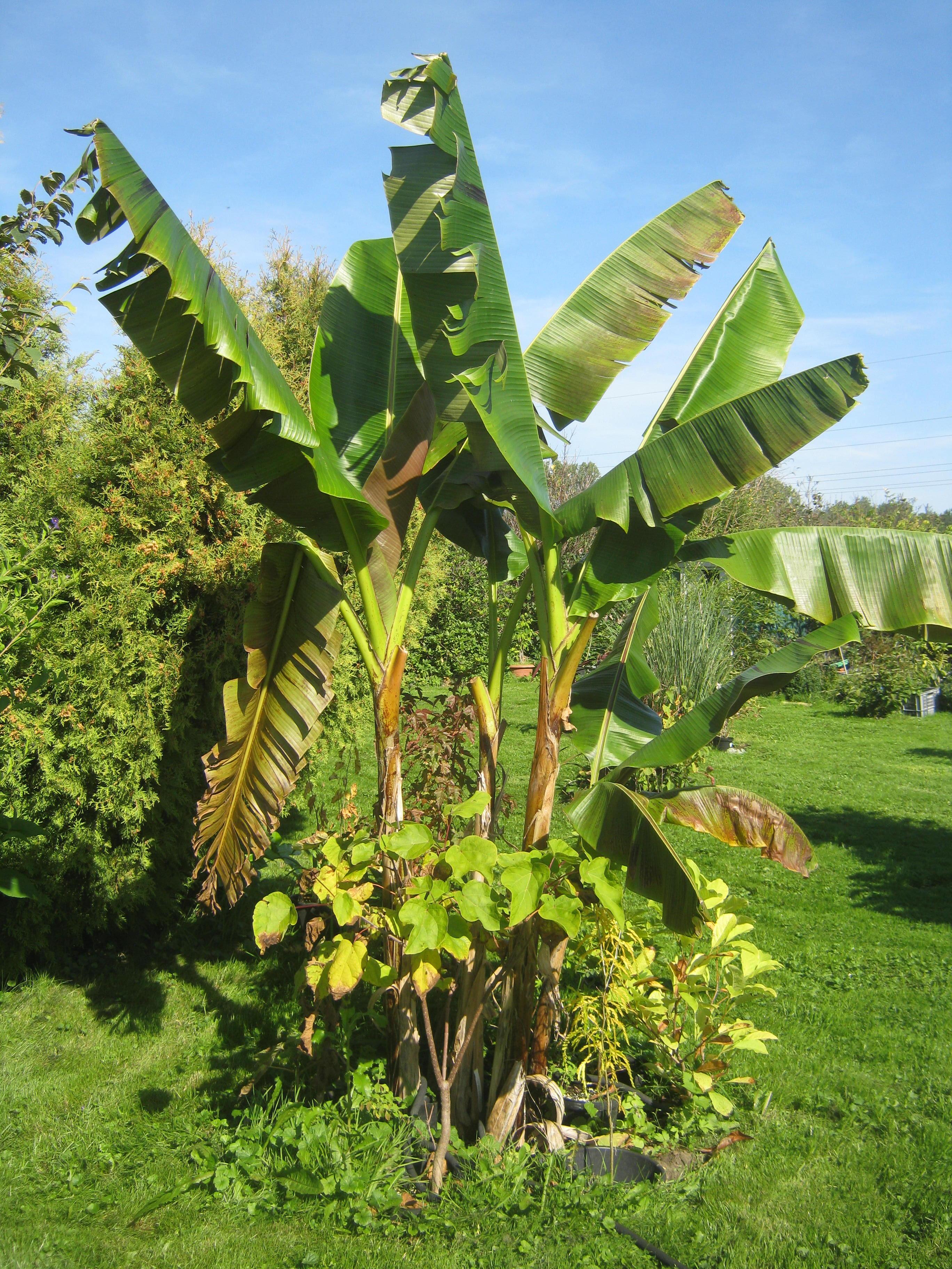 wie man aus einer banane eine neue pflanze zieht ein pflanzen und genie erblog vom niederrhein. Black Bedroom Furniture Sets. Home Design Ideas
