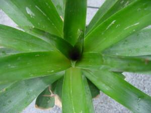 ananas erfolgreich vermehren ein pflanzen und genie erblog vom niederrhein. Black Bedroom Furniture Sets. Home Design Ideas
