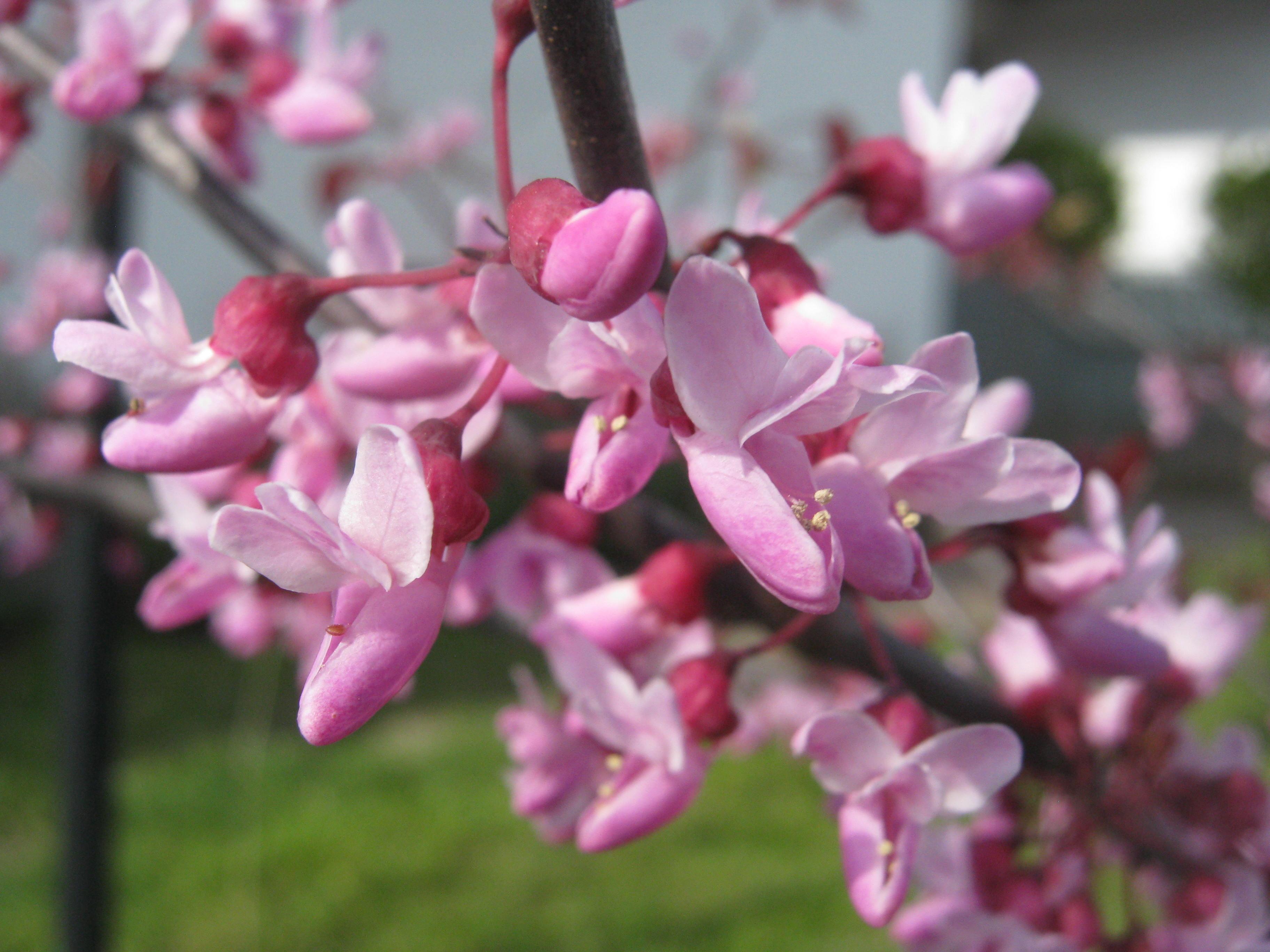 Blüten ohne Ende, Judasbaum