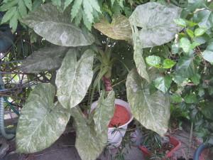 Alocasie wentii variegata