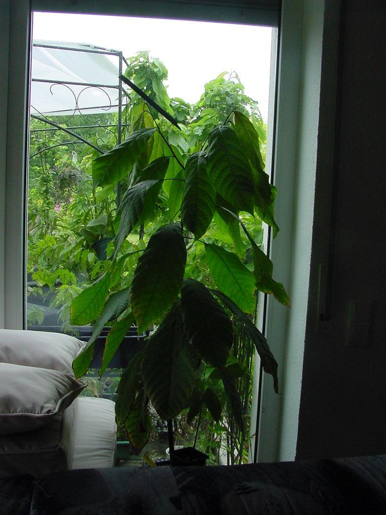 kakaopflanze theobroma cacao pflege und erfahrungen das gr ne netzwerk. Black Bedroom Furniture Sets. Home Design Ideas