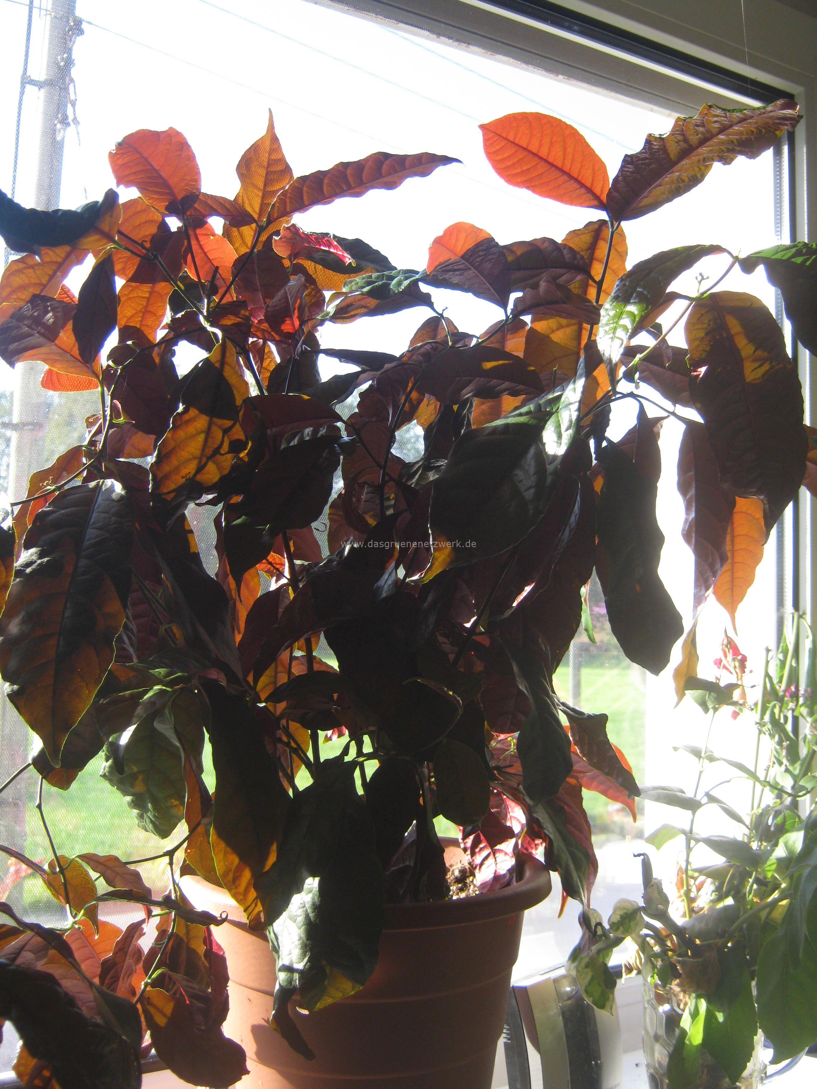 """Eigentlich sind die Blätter oben grün und unten rot. Bei Sonnenschein werden sie """"bronzefarbig"""""""